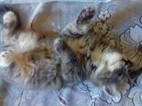 Кішки, кошенята Турецька Ангора, ціна 50 Грн., Фото