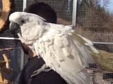 Папуги й птахи Папуги, ціна 4000 Грн., Фото