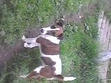 Собаки, щенята Гладкошерста фокстер'єр, ціна 1300 Грн., Фото