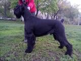 Собаки, щенята Різеншнауцер, ціна 11500 Грн., Фото