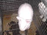 Гризуни Кролики, ціна 150 Грн., Фото