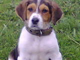 Собаки, щенки Баварская гончая, цена 2500 Грн., Фото