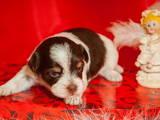 Собаки, щенята Йоркширський тер'єр, ціна 15000 Грн., Фото