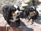 Собаки, щенки Бернская горная собака, цена 15000 Грн., Фото