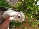 Собаки, щенята Мальтійська болонка, ціна 5000 Грн., Фото