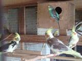 Попугаи и птицы Попугаи, цена 300 Грн., Фото