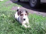 Собаки, щенята Жорсткошерстий фокстер'єр, ціна 750 Грн., Фото