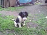 Собаки, щенки Жесткошерстный фокстерьер, цена 750 Грн., Фото