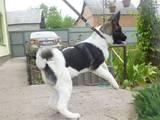 Собаки, щенята Американський акіта, ціна 11000 Грн., Фото