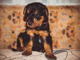 Собаки, щенки Эрдельтерьер, цена 6000 Грн., Фото