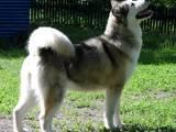 Собаки, щенки Аляскинский маламут, цена 25000 Грн., Фото