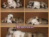 Собаки, щенята Джек Рассел тер'єр, ціна 2000 Грн., Фото