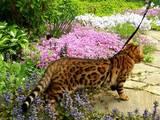 Кішки, кошенята Бенгальськая, ціна 16040 Грн., Фото