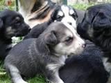 Собаки, щенки Бультерьер, цена 10 Грн., Фото