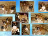 Собаки, щенки Боксер, цена 5000 Грн., Фото
