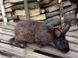 Гризуни Кролики, ціна 50 Грн., Фото