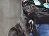 Собаки, щенята Кане Корсо, ціна 25000 Грн., Фото