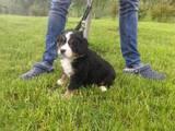 Собаки, щенки Бернская горная собака, цена 14000 Грн., Фото