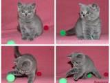 Кошки, котята Британская короткошерстная, цена 1000 Грн., Фото