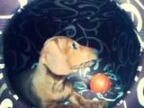 Собаки, щенки Гладкошерстная миниатюрная такса, цена 1800 Грн., Фото