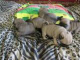 Собаки, щенки Мопс, цена 3800 Грн., Фото