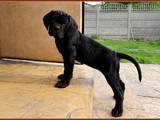 Собаки, щенки Кане Корсо, цена 30000 Грн., Фото