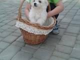 Собаки, щенята Мальтійська болонка, ціна 3800 Грн., Фото