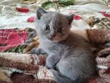 Кошки, котята Шотландская короткошерстная, цена 600 Грн., Фото