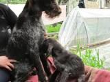 Собаки, щенки Разное, цена 1500 Грн., Фото