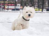 Собаки, щенки Вестхайленд уайт терьер, цена 7000 Грн., Фото