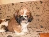 Собаки, щенки Ши-тцу, цена 2900 Грн., Фото