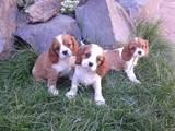 Собаки, щенята Кавалер-кинг-чарльз спаніель, ціна 9000 Грн., Фото