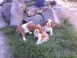 Собаки, щенки Кавалер-Кинг-Чарльз спаниель, цена 9000 Грн., Фото