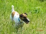 Собаки, щенята Гладкошерста фокстер'єр, ціна 1 Грн., Фото