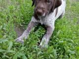 Собаки, щенки Немецкая жесткошерстная легавая, цена 500 Грн., Фото