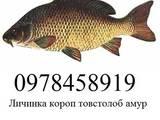 Рибки, акваріуми Рибки, ціна 600 Грн., Фото