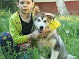 Собаки, щенята Аляска маламут, ціна 3500 Грн., Фото