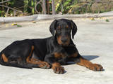 Собаки, щенки Доберман, цена 10000 Грн., Фото