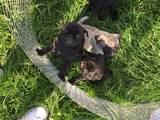 Собаки, щенята Мопс, ціна 7000 Грн., Фото