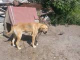 Собаки, щенята Російський хорт, ціна 100 Грн., Фото