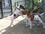 Собаки, щенята Гладкошерста фокстер'єр, ціна 1500 Грн., Фото