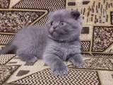 Кішки, кошенята Шотландська короткошерста, ціна 350 Грн., Фото