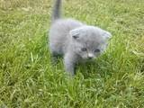 Кошки, котята Шотландская вислоухая, цена 600 Грн., Фото