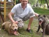 Собаки, щенята Американський стаффордширський тер'єр, ціна 4500 Грн., Фото