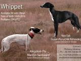 Собаки, щенята Уїппет, ціна 12000 Грн., Фото