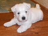Собаки, щенки Вестхайленд уайт терьер, цена 9000 Грн., Фото