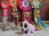 Собаки, щенята Джек Рассел тер'єр, ціна 7000 Грн., Фото