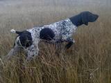 Собаки, щенки Немецкая гладкошерстная легавая, цена 7500 Грн., Фото