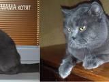 Кошки, котята Шотландская короткошерстная, цена 950 Грн., Фото