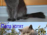 Кошки, котята Шотландская короткошерстная, цена 750 Грн., Фото